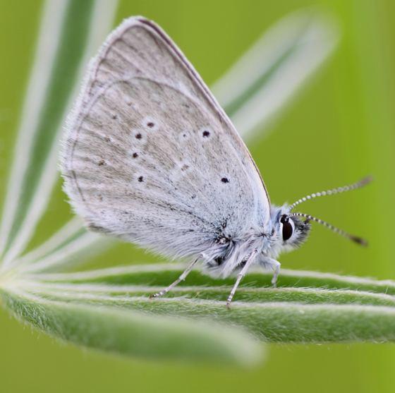 Fender's blue butterfly Fender39s Blue Butterfly Plebejus icarioides BugGuideNet