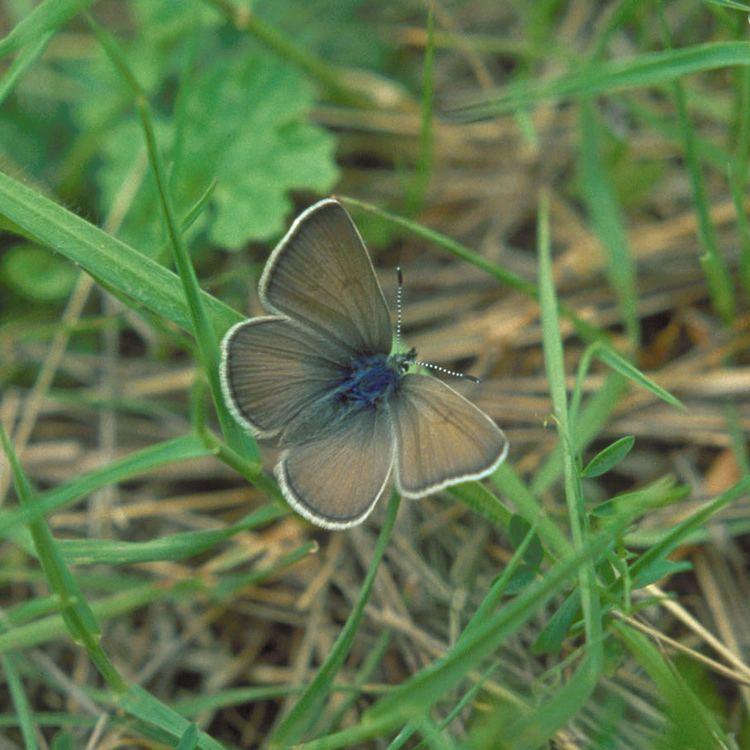 Fender's blue butterfly Fender39s blue butterfly Wikipedia