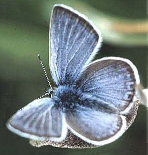 Fender's blue butterfly Threatened and Endangered Insect Abstracts