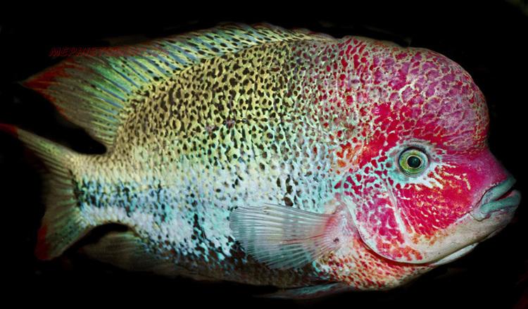Fenestratus PARATHERAPS FENESTRATUS MonsterFishKeeperscom