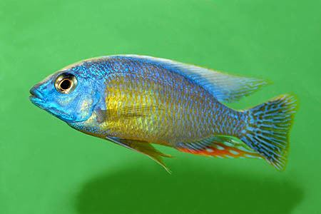 Fenestratus wwwseriouslyfishcomwpcontentuploads201203p