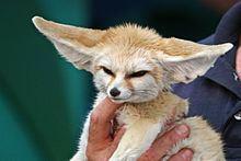 Fennec fox httpsuploadwikimediaorgwikipediacommonsthu