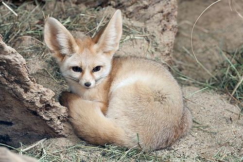 Fennec fox Fennec Fox Lincoln Park Zoo
