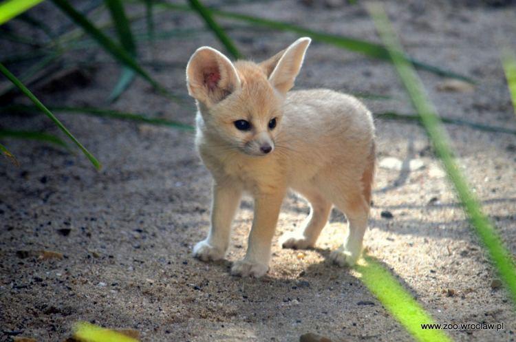 Fennec fox Fennec Fox ZooBorns