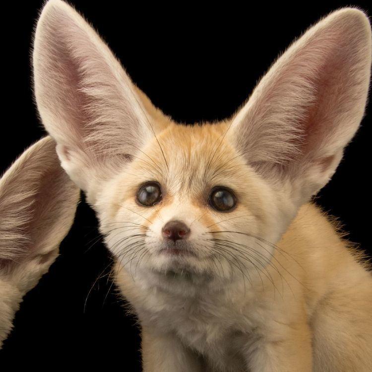 Fennec fox Fennec Fox National Geographic
