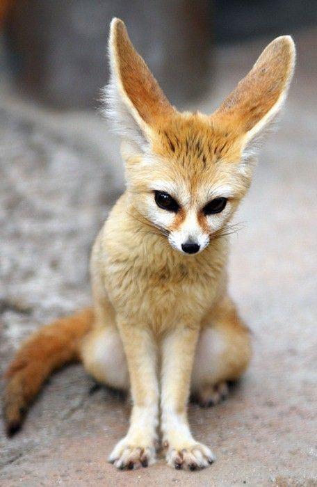 Fennec fox 1000 ideas about Fennec Fox on Pinterest Red fox Fox and