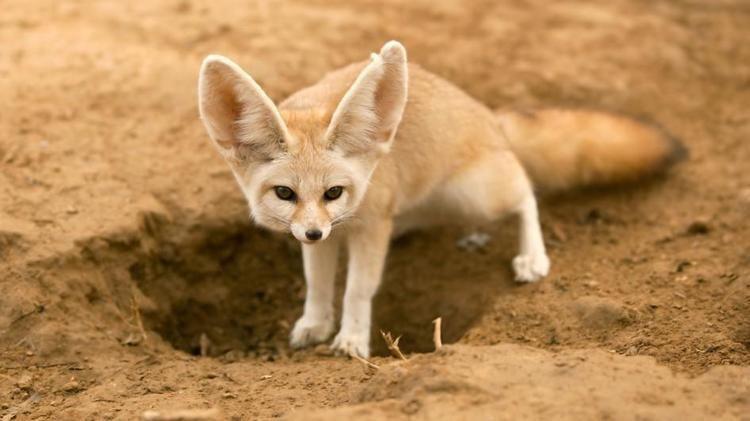 Fennec fox Fennec Fox