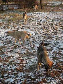 Feral animal httpsuploadwikimediaorgwikipediacommonsthu