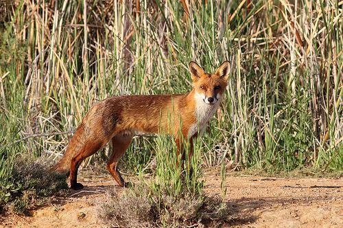 Feral animal Feral Animals Byron Shire Council