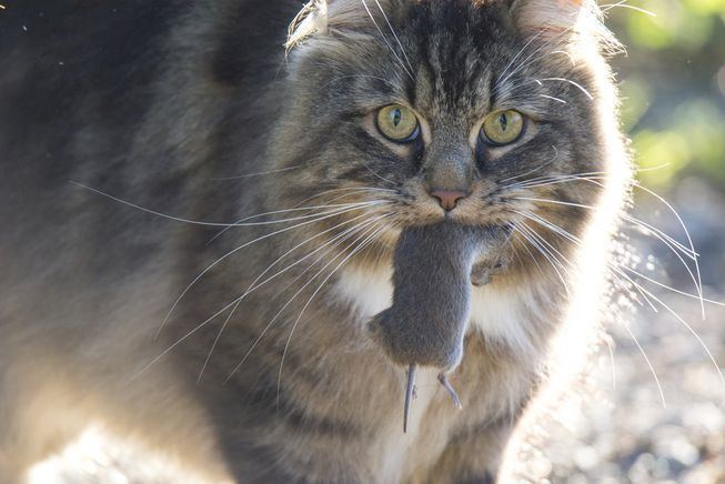 Feral cat Feral cats in Australia kill 7 animals per day MNN Mother Nature