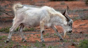 Feral goat Feral Goat Control Australian Feral Management