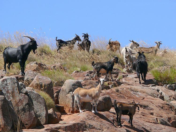 Feral goat Goat feral or wild AZ of pest animals Pest animals Pests