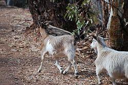 Feral goat Feral goat Wikipedia