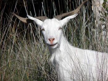 Feral goat dpipwetasgovauContentImageswFeralGoatIACR