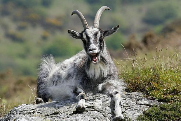 Feral goat Information THE INVASION OF THE FERAL GOAT