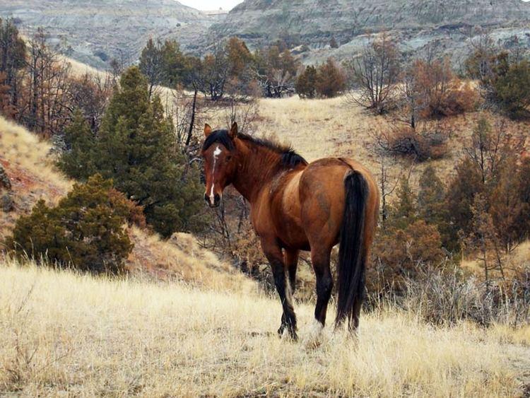 Feral horse httpswwwnpsgovcommonuploadsphotogallerymw