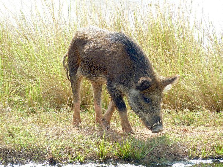 Feral pig Pig feral or wild AZ of pest animals Pest animals Pests