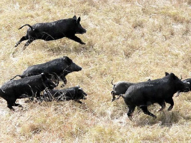 Feral pig Latest feral pigs articles Topics Gympie Times