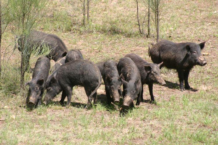 Feral pig Feral pig PestSmart Connect