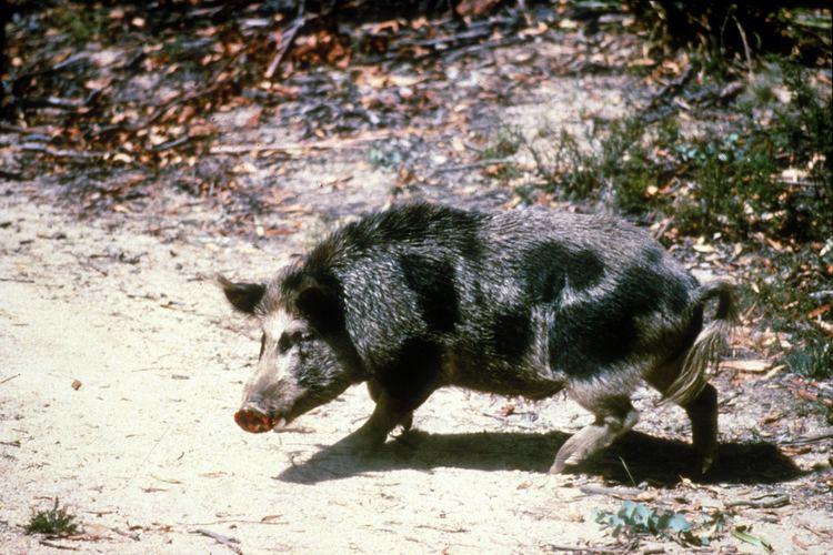 Feral pig Feral pig Wikipedia