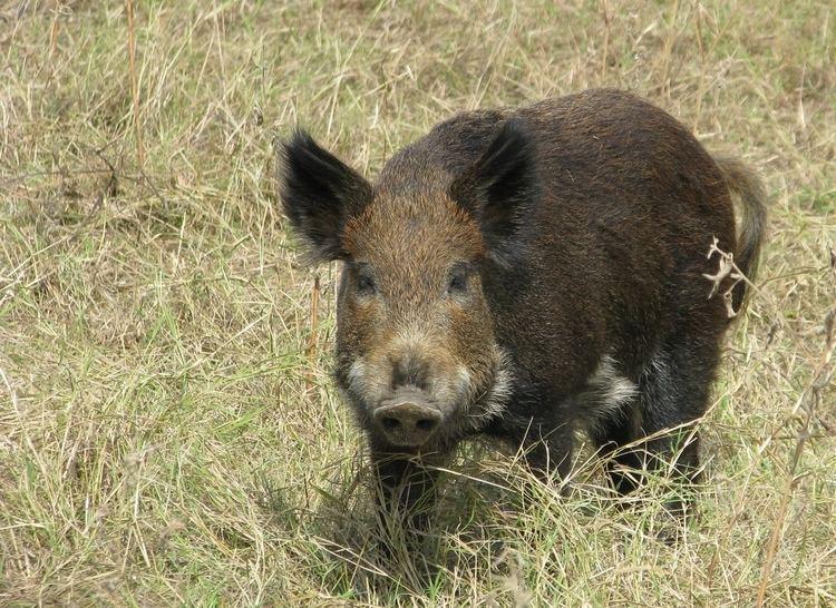 Feral pig Feral Hogs