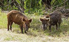 Feral pig httpsuploadwikimediaorgwikipediacommonsthu