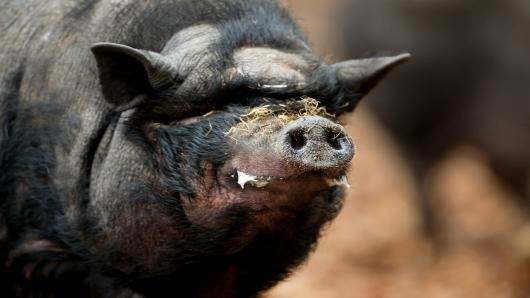 Feral pig Feral Pigs Going Hog Wild Across Growing Area of US