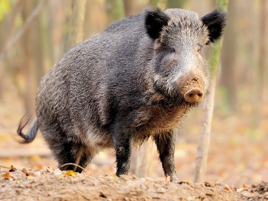 Feral pig 1000 ideas about Feral Pig on Pinterest Hog hunting in texas