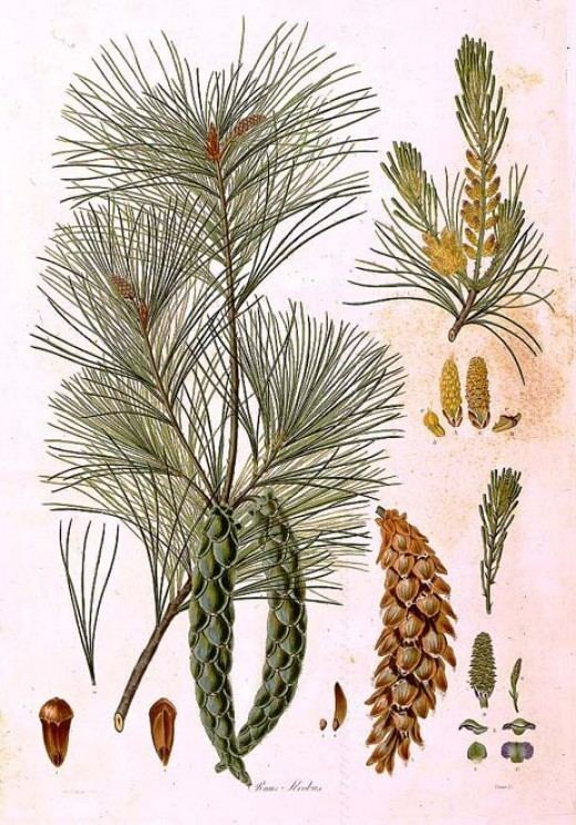 Ferdinand Bauer About The Bauer Brothers Famous Botanical Artists