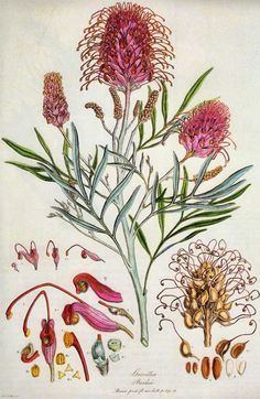 Ferdinand Bauer Ferdinand amp Franz Bauer botanical artists on Pinterest