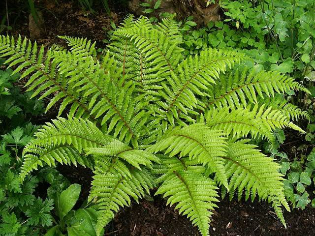 Fern Hardy Ferns How to Grow and Care for Hardy Fern Plants Garden