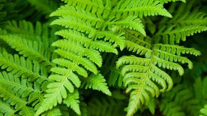 Fern fern plant Britannicacom