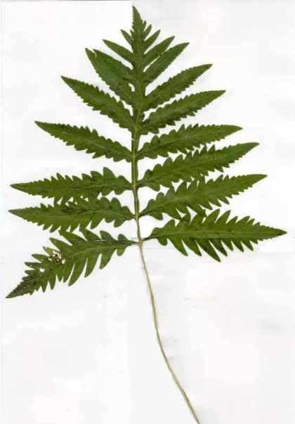 Ferns and fern allies of Soldiers Delight
