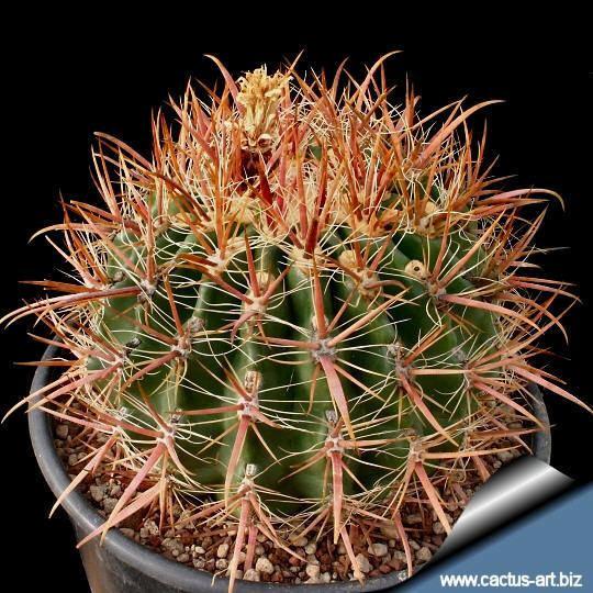 Ferocactus fordii wwwcactusartbizschedeFEROCACTUSFerocactusfo