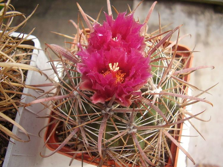 Ferocactus fordii Ferocactus fordii Wikipedia