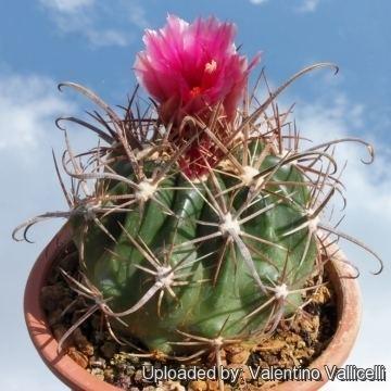 Ferocactus fordii Ferocactus fordii