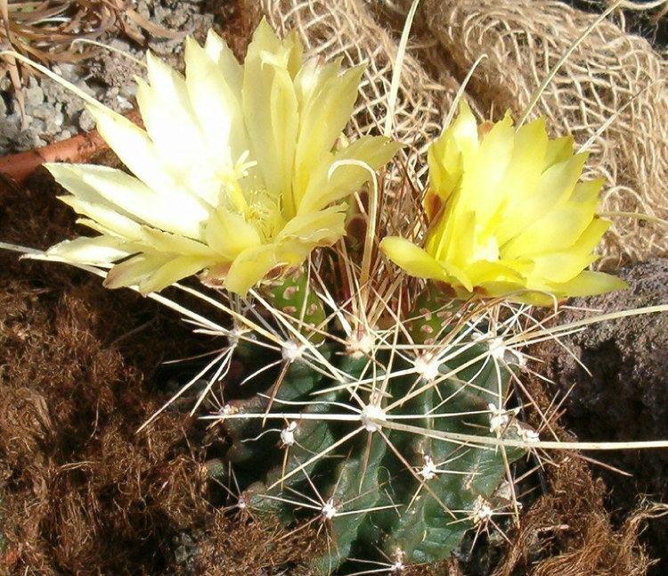 Ferocactus hamatacanthus httpsuploadwikimediaorgwikipediacommonsdd
