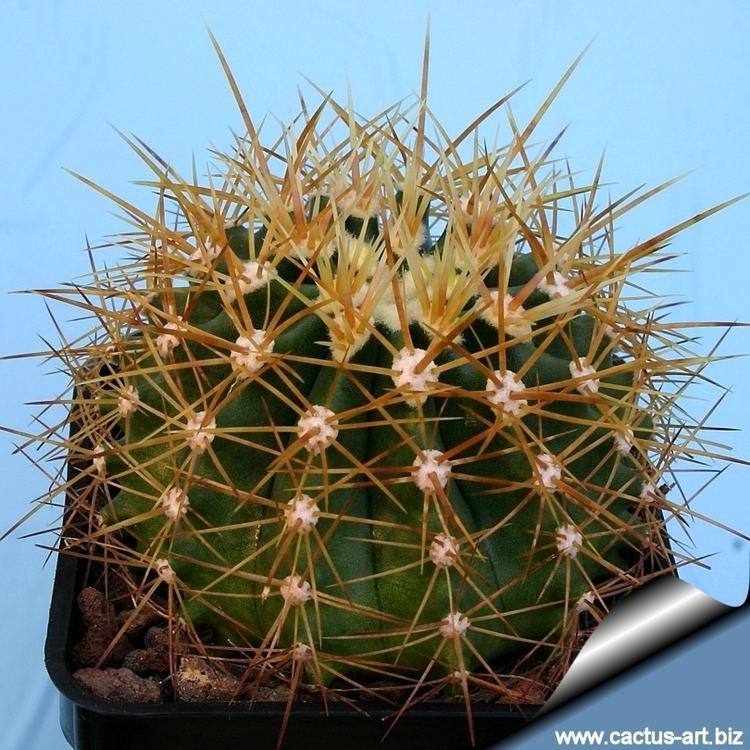 Ferocactus schwarzii Ferocactus schwarzii
