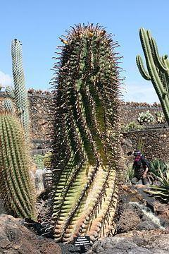 Ferocactus townsendianus httpsuploadwikimediaorgwikipediacommonsthu