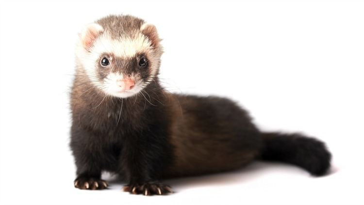 Ferret 19 Ferret facts that will either freak you out or make you want to