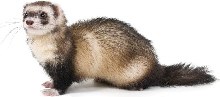 Ferret All About the FERRET Chadwell Animal Hospital