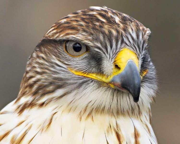 Ferruginous hawk Ferruginous Hawk Audubon Field Guide