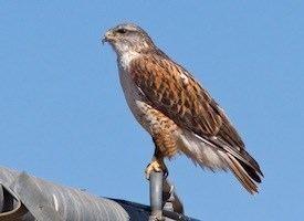 Ferruginous hawk Ferruginous Hawk Identification All About Birds Cornell Lab of