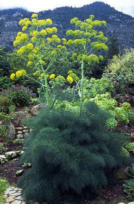 Ferula communis Ferula communis giant fennelRHS Gardening