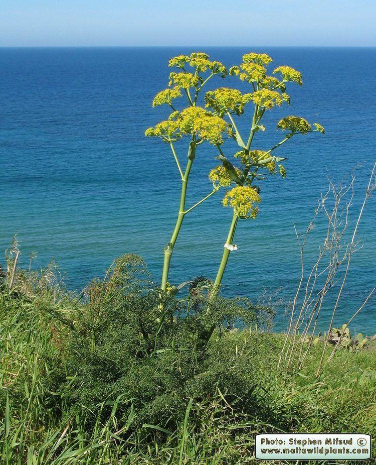 Ferula communis Wild Plants of Malta amp Gozo Plant Ferula communis Giant Fennel