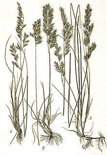 Festuca heterophylla httpsuploadwikimediaorgwikipediacommonsthu