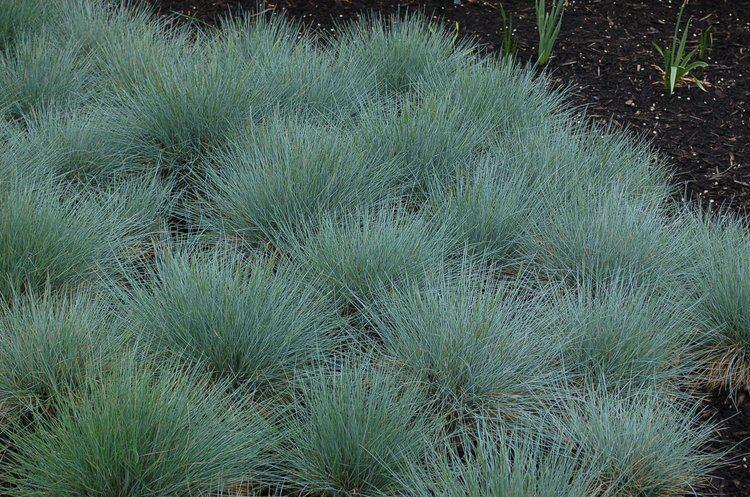 Festuca ovina Blue Fescue Grass Festuca Ovina Glauca Exotic Ornamental Grass