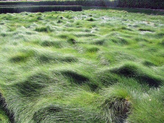 Festuca rubra Festuca rubra Creeping Red Fescue Can be left unmown for a lush