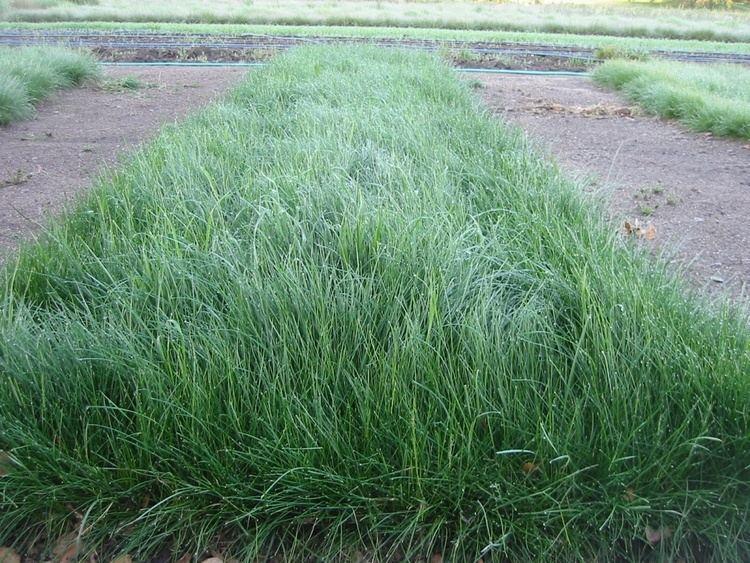 Festuca rubra Festuca Rubra Red Fescue meadow grass Grasses for Lawns