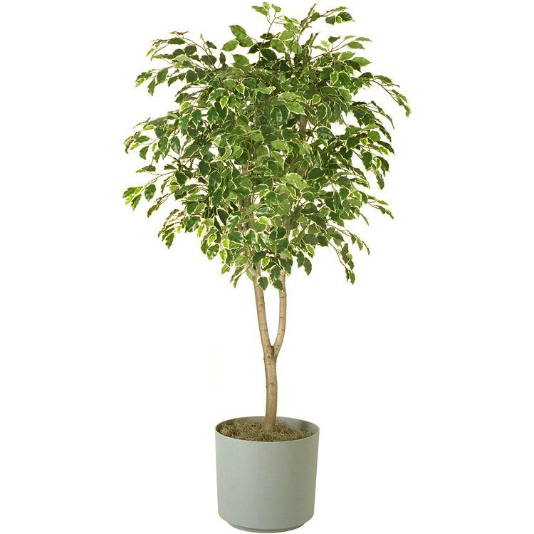 Ficus HawaiianFicusTreejpg